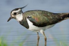 La avefría septentrional (vanellus del Vanellus) se cierra para arriba Foto de archivo