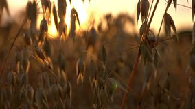 La avena de oro coloca en el fondo de las tierras de labrantío de la puesta del sol almacen de metraje de vídeo