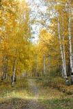 La avenida del abedul del otoño Fotos de archivo