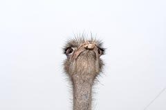 La avestruz Fotografía de archivo libre de regalías