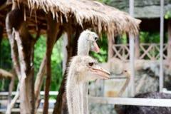 La avestruz come las hojas de turistas fotografía de archivo libre de regalías