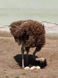 La avestruz cuenta los huevos Imagen de archivo libre de regalías