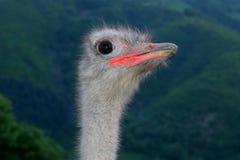 La avestruz de la avestruz head Imagen de archivo