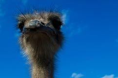 La avestruz de la avestruz head Imagen de archivo libre de regalías