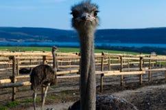 La avestruz de la avestruz head foto de archivo libre de regalías