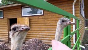 La avestruz divertida come la mano de un hombre almacen de metraje de vídeo