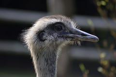 La avestruz gris hermosa con un pico gris Foto de archivo libre de regalías