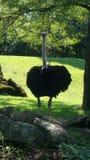 La avestruz para arriba se cierra para la foto Fotos de archivo