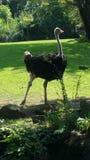 La avestruz para arriba se cierra para la foto Imágenes de archivo libres de regalías