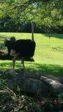 La avestruz para arriba se cierra para la foto Foto de archivo