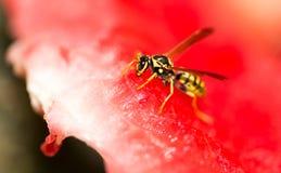 La avispa come una sandía roja en naturaleza Fotos de archivo libres de regalías