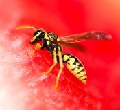 La avispa come una sandía roja en naturaleza Imágenes de archivo libres de regalías
