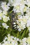 La avispa de Sphecid que forrajea para el néctar en la menta de montaña florece, Conne Imagenes de archivo