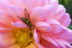 La avispa en la flor rosada Imágenes de archivo libres de regalías