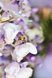 La avispa en la floración de la glicinia de la lila florece - la foto común Fotos de archivo
