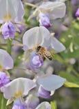 La avispa en la floración de la glicinia de la lila florece - la foto común Fotografía de archivo libre de regalías