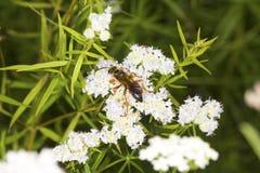 La avispa picadora de oro que forrajea para el néctar en la menta de montaña florece Foto de archivo libre de regalías