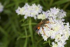 La avispa picadora de oro que forrajea para el néctar en la menta de montaña florece Fotografía de archivo