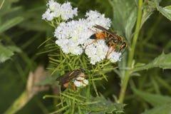 La avispa picadora de oro que forrajea para el néctar en la menta de montaña florece Imagenes de archivo