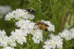 La avispa picadora de oro que forrajea para el néctar en la menta de montaña florece Fotografía de archivo libre de regalías