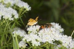 La avispa picadora de oro que forrajea para el néctar en la menta de montaña florece Foto de archivo