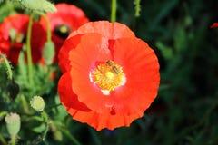La avispa poliniza la flor salvaje roja Foto de archivo
