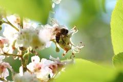 La avispa poliniza los flores del ciruelo Fotos de archivo