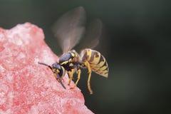 La avispa que se sienta en un pedazo de sandía y come Fotografía de archivo libre de regalías