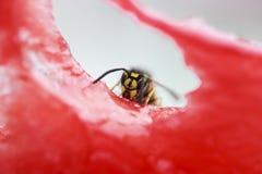 La avispa que se sienta en un pedazo de sandía y come Fotografía de archivo