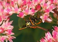 La avispa rayada que se sienta en las flores rosadas y recoge el néctar Foto de archivo