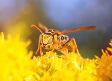 La avispa rayada que se sienta en las flores y recoge el néctar Foto de archivo