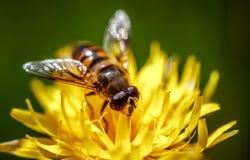 La avispa recoge el néctar de alpina del crepis de la flor Fotografía de archivo libre de regalías