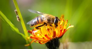 La avispa recoge el néctar de alpina del crepis de la flor Imagenes de archivo