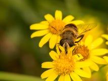 La avispa se sienta en la flor amarilla tres Imágenes de archivo libres de regalías