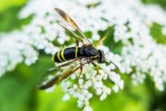 La avispa sienta la flor que come el néctar Fotos de archivo