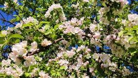 La avispa vuela y poliniza las flores blancas del manzano contra el cielo azul almacen de video