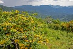 La azalea amarilla y anaranjada de la llama florece junta en Roan Mountain imágenes de archivo libres de regalías