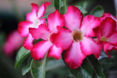 La azalea florece color fucsia Foto de archivo