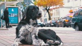 La bête perdue Shaggy Dog se trouve sur une rue de ville dans la perspective de passer des voitures et des personnes banque de vidéos