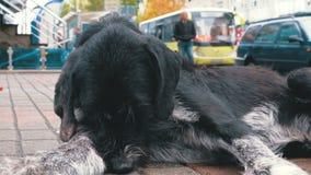 La bête perdue Shaggy Dog se trouve sur une rue de ville dans la perspective de passer des voitures et des personnes clips vidéos