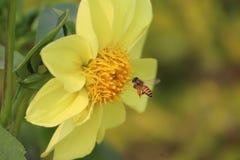 La búsqueda de la abeja posee la comida Imágenes de archivo libres de regalías