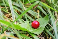 La bacca rossa della ciliegia si trova su una foglia nell'erba Fotografia Stock