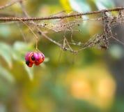 La bacca rossa selvatica della foresta su un ramo coperto in ragnatele si chiude su immagini stock