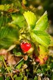 La bacca rossa, una fragola ha maturato su un cespuglio nel campo Agricoltura per piantare le bacche Immagine Stock Libera da Diritti
