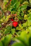 La bacca rossa, una fragola ha maturato su un cespuglio nel campo Agricoltura per piantare le bacche Immagine Stock