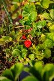 La bacca rossa, una fragola ha maturato su un cespuglio nel campo Agricoltura per piantare le bacche Immagini Stock