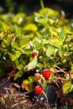 La bacca rossa, una fragola ha maturato su un cespuglio nel campo Agricoltura per piantare le bacche Fotografie Stock Libere da Diritti