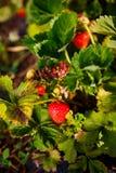 La bacca rossa, una fragola ha maturato su un cespuglio nel campo Agricoltura per piantare le bacche Fotografie Stock
