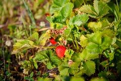 La bacca rossa, una fragola ha maturato su un cespuglio nel campo Agricoltura per piantare le bacche Fotografia Stock Libera da Diritti
