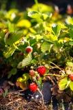 La bacca rossa, una fragola ha maturato su un cespuglio nel campo Agricoltura per piantare le bacche Immagini Stock Libere da Diritti